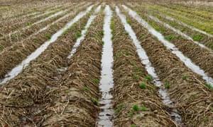 Una cosecha de papas en ruinas. Los agricultores de varios condados no pudieron obtener vegetales ni sembrar trigo.