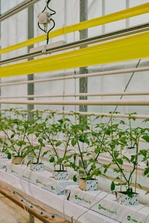 Plantas de tomate en el invernadero de Glinwell.