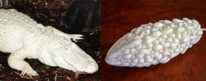 Un cocodrilo albino (izquierda) y un melón amargo blanco (derecha).
