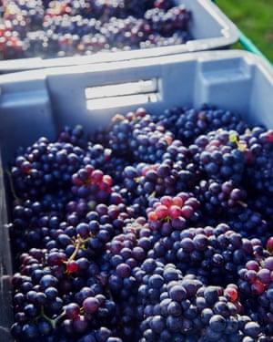 Cuando visité Hush Heath, trajeron las uvas bajo la lluvia torrencial. Las uvas pinot noir eran dulces, con piel madura y una carga de acidez eléctrica que las hacía perfectas para vino espumoso.
