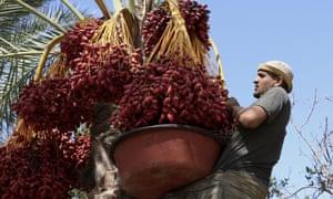 Un trabajador agrícola cosecha fechas en una granja en Deir el-Balah en el centro de Gaza.
