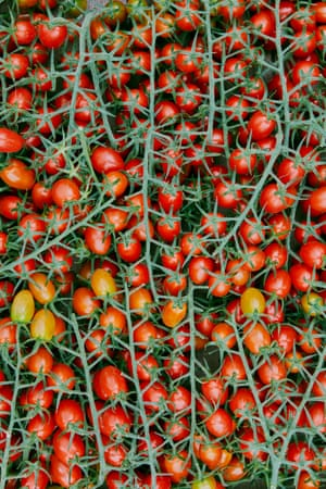 Tomates frescos en la vid.
