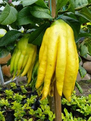 Limón en la mano de Buddah con frutas amarillas que se dividen en lo que parecen dedos o tentáculos.