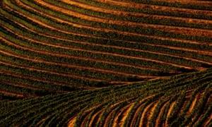 Una ladera en terrazas Cabernet Sauvignon viñedo en el condado de Sonoma, California.