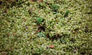 Temporada de cosecha para la producción de vino en el sur de España.