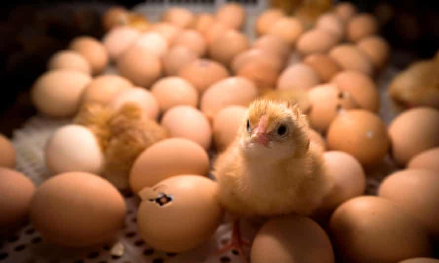 Huevos eclosionados dentro de una incubadora en una feria agrícola en París. Francia prohibirá el sacrificio de pollos machos a partir de finales de este año.