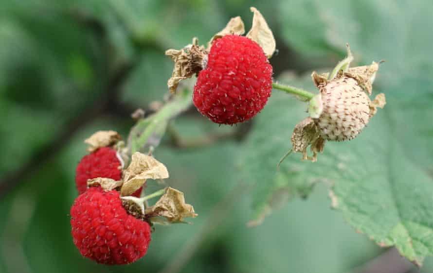 Thimbleberries en la vid, la forma más fácil de comerlos.