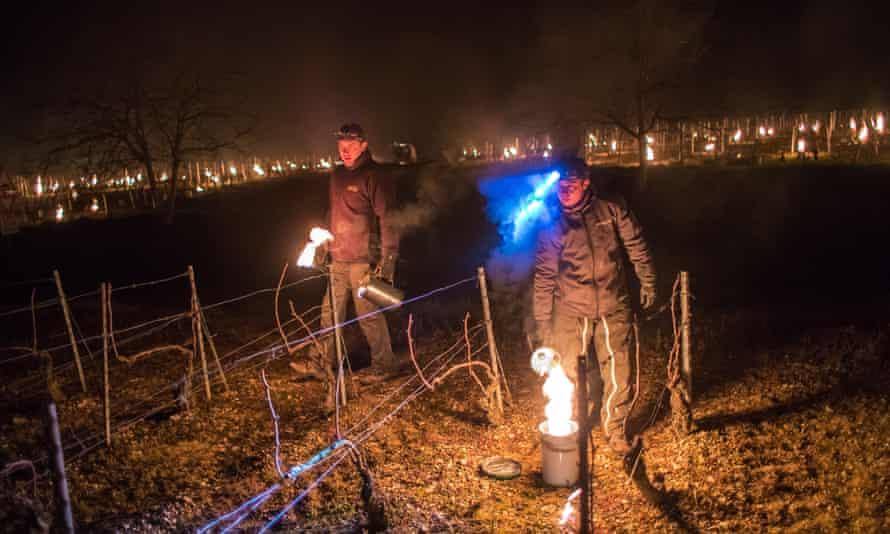 Enólogos franceses encienden velas anticongelantes en un viñedo en Chablis, Borgoña, Francia.