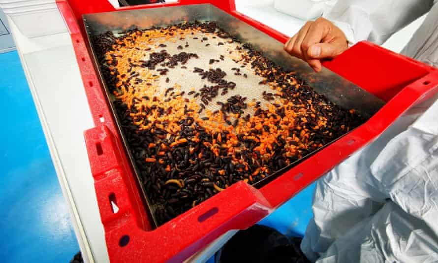 Los gusanos de la harina adultos, que se utilizan para la reproducción, comen trozos de zanahoria de un recipiente en el laboratorio de la granja de insectos Ynsect