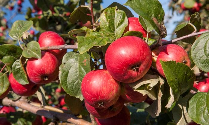 Conozca sus manzanas: una guía de degustación de sidra para conocedores | Sidra británica