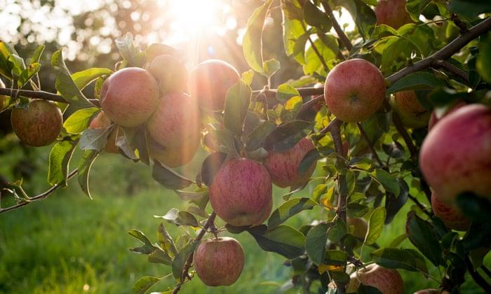 Realice el cuestionario sobre huertos de sidra: ¿podría cuidar de los manzanos? | Sidra británica