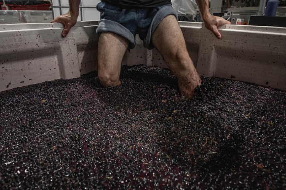 """Bandesh está acuñando uvas Shiraz para su vino """"Time To Fly"""" en la bodega Mac Forbes en Healesville, Australia, el 13 de marzo de 2021."""
