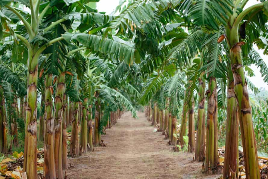 Una plantación de banano en Vietnam.